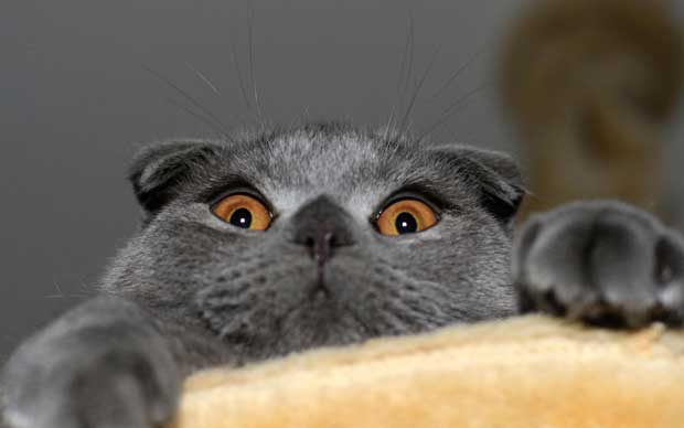wallpaper-funny-terror-eyes-cat